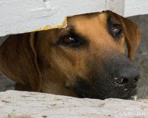 Dogs of Caye Caulker